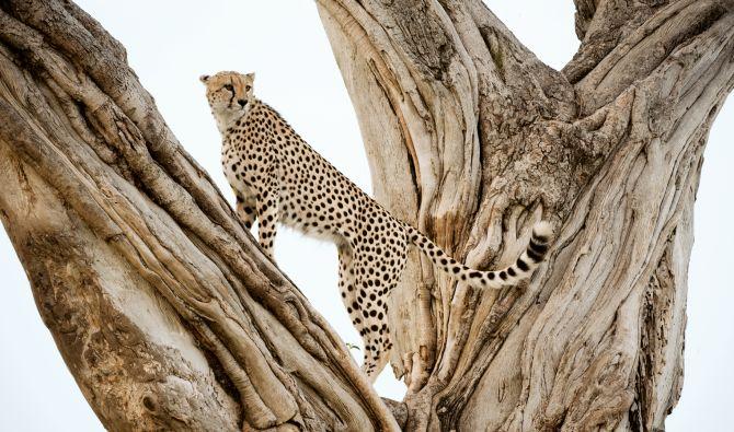 гепарди - National Geographic - 11 брой 2012